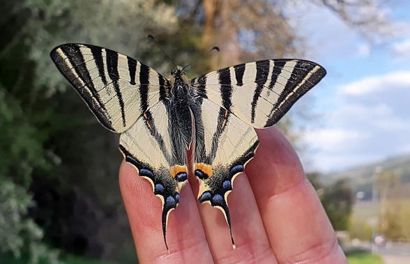 scarce butterfly